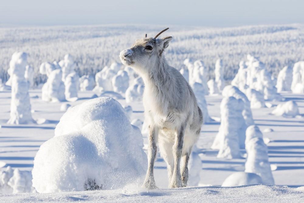 Aïlo une odyssée en Laponie film documentaire image